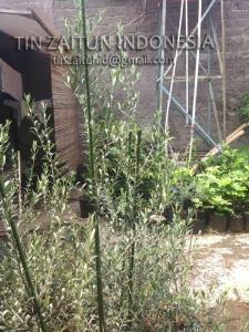 plant stake ajir