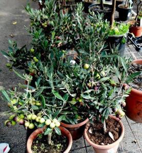 pohon zaitun dalam pot