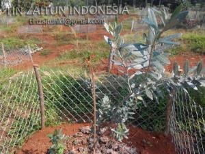 pohon zaitun picual